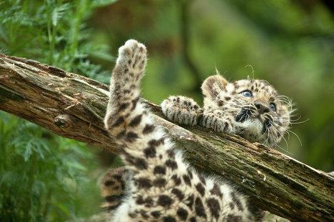 Забава и леопард