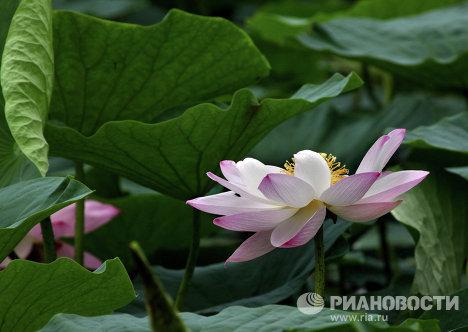 Цвет лотос у Приморју
