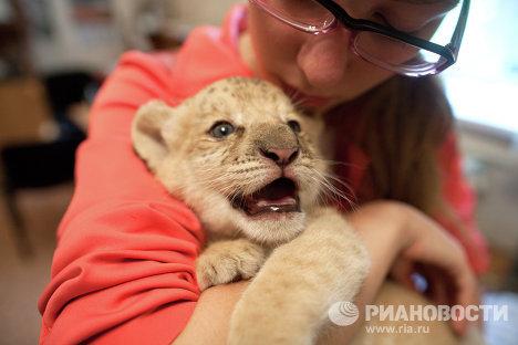 Младунче лава и тигра