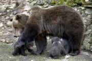 Медведићи у Швајцарској