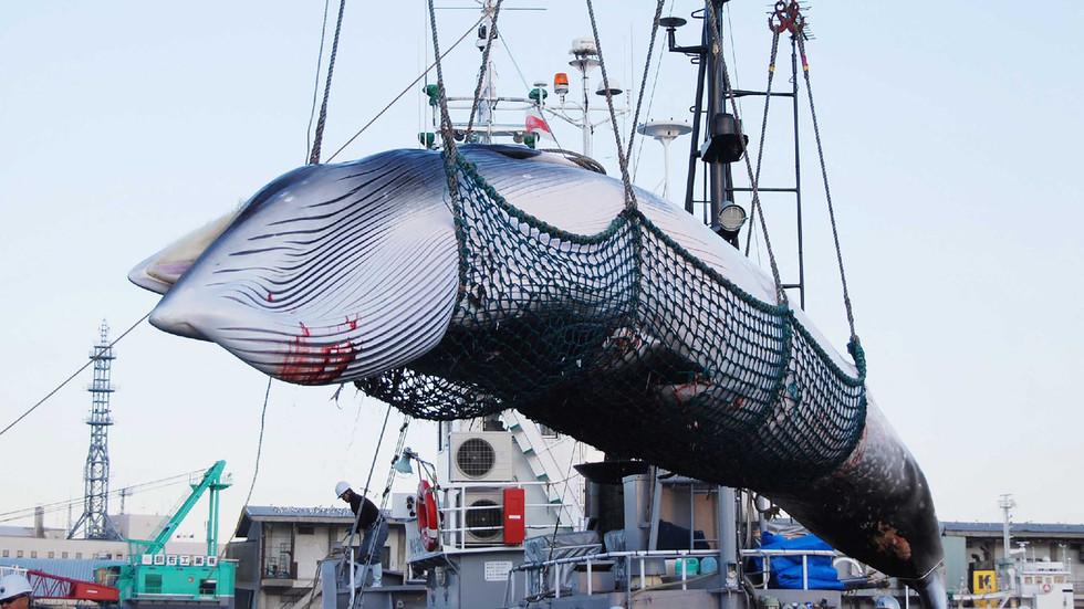 RT: Preko 100 kitova će biti ubijeno u Japanu tokom kontroverzne sezone komercijalnog kitolova