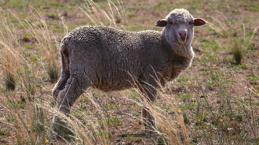 РТ: Радиоактивне овце подстакле тврдње о израелском тајном тестирању нуклеарне бмбе