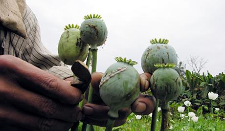 У Авганистану се очекује рекордни род опијумског мака