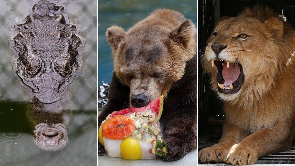 РТ: Нема више крокодила, медведа или лавова као кућних љубимаца у Русији