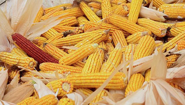 Род кукуруза у Србији ове године биће умањен за 60 одсто