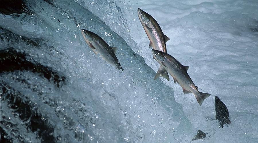 РТ: Први ГМО лосос у продавницама у Канади