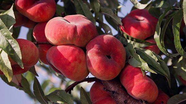Rusija bi mogla uvesti privremena ograničenja na uvoz koštunjavog voća iz Srbije