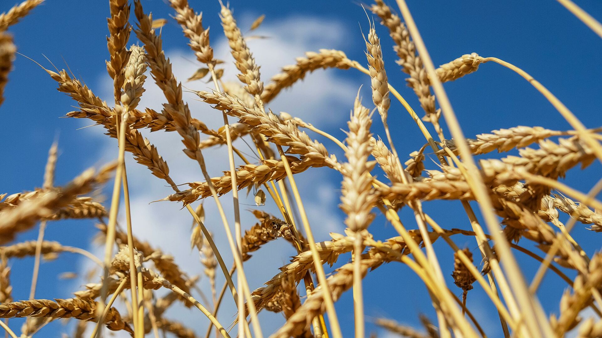 САД предвиђају Русији једну од најбољих жетви пшенице у историји
