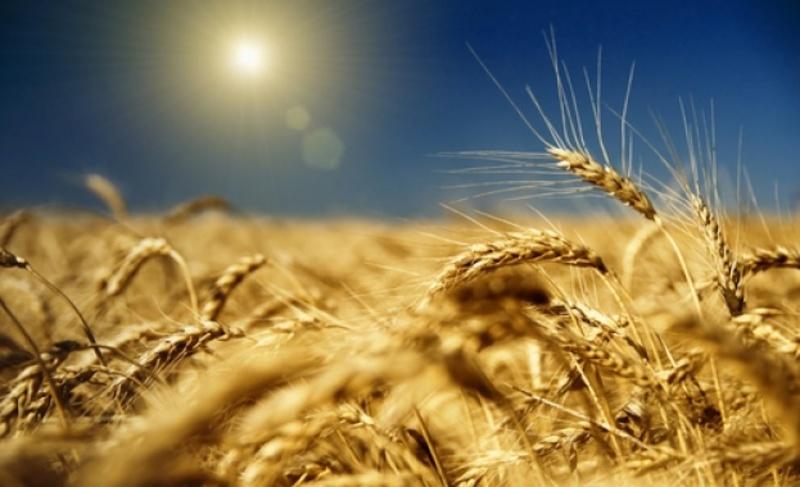 Русија постаје водећи извозник пшенице