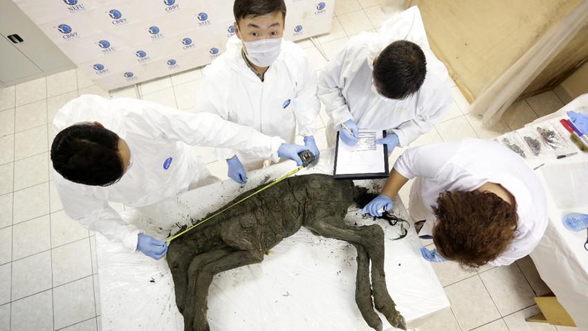 Руски научници се надају да ће успети да клонирају изумрле праисторијске коње