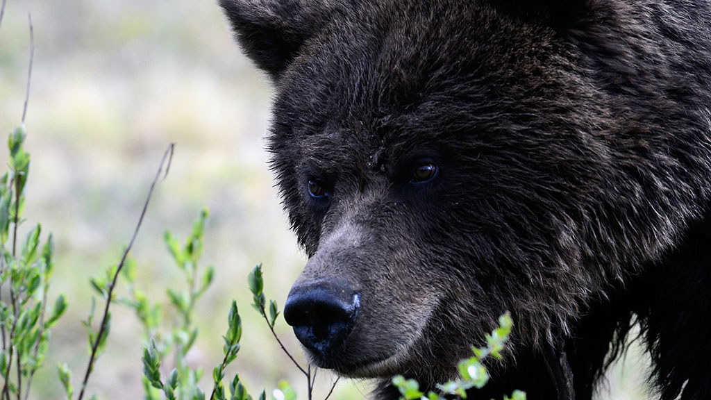 Руски биохемичари у пљувачки сибирског мрког медведа пронашли нови антибиотик