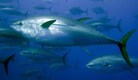 Јапански ресторан купио туну за 1,8 милиона долара