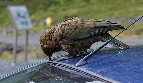 Новозеландски папагај пљачкаш