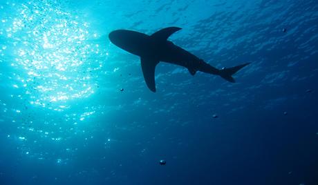 Научници апелују на контролисани лов на ајкуле
