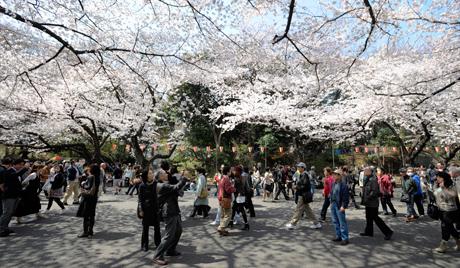 Сакура процветала раније него обично