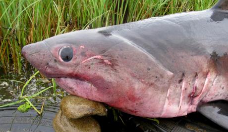 Ајкуле на ивици нестанка