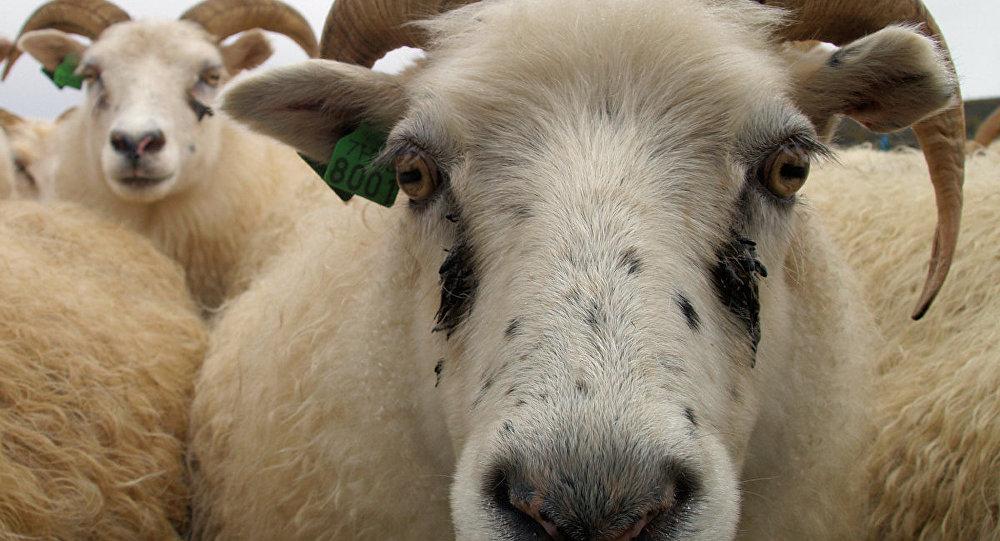 Сељани страхују од дивљања дрогираних оваца