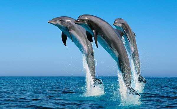 Делфини имају карактеристике људског говора