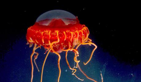 У Аустралији проблем са отровним медузама