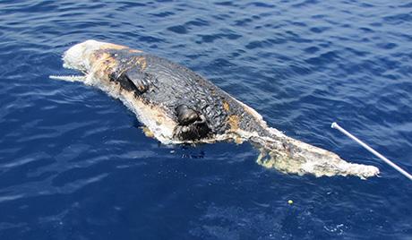 На аустралијској плажи угинула породица китова