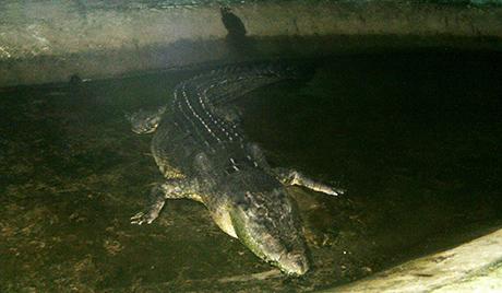 Угинуо највећи морски крокодил у заточеништву