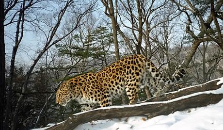 Повећао се број леопарда на Далеком истоку