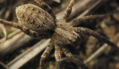 Пронађене гигантске тарантуле